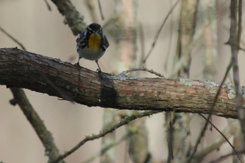 Yellow-throated Warbler / 6 Apr / Stumpy Lake NA
