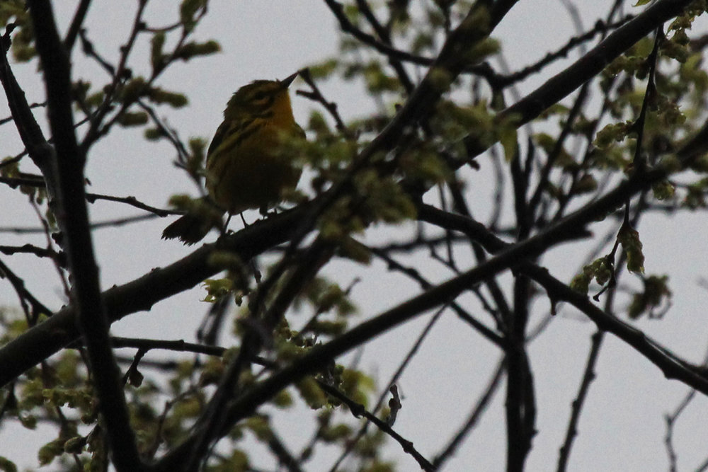 Prairie Warbler / 7 Apr / Chesapeake Beach Park