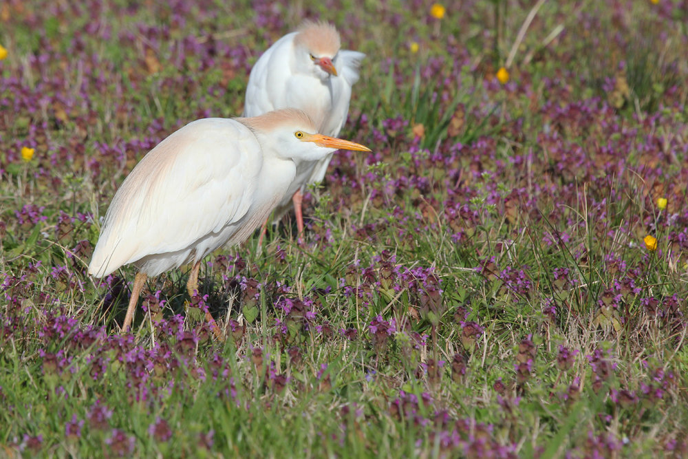 Cattle Egrets / 8 Apr / Mill Landing Road
