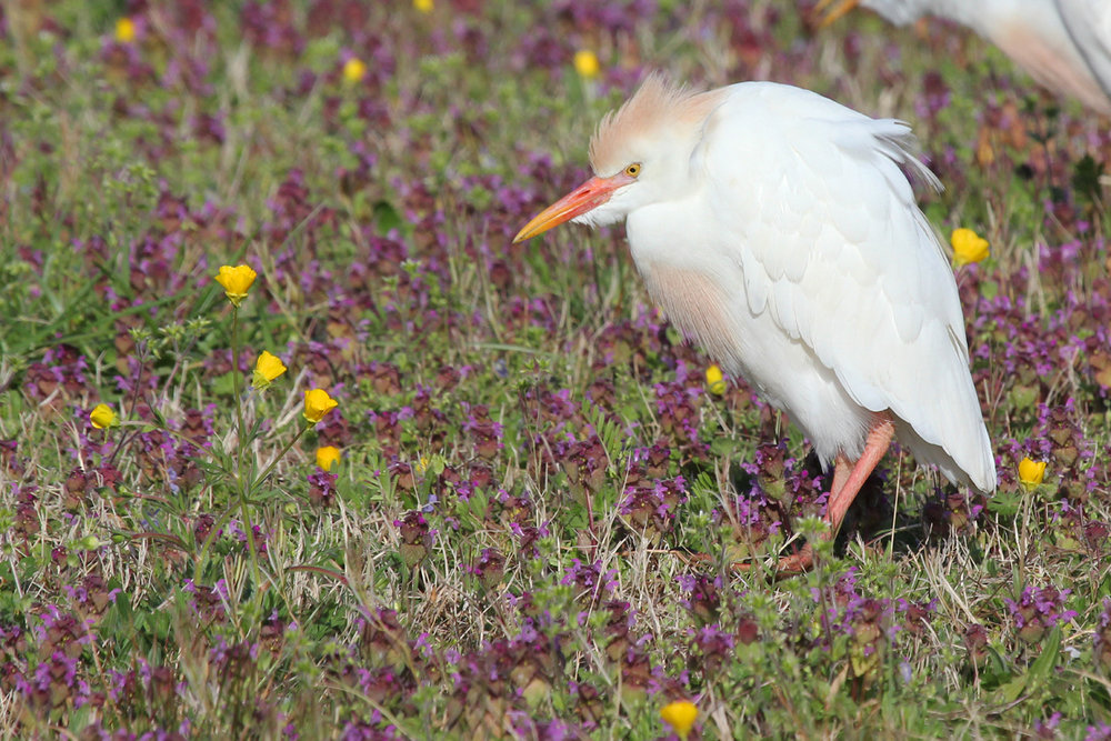 Cattle Egret / 8 Apr / Mill Landing Road