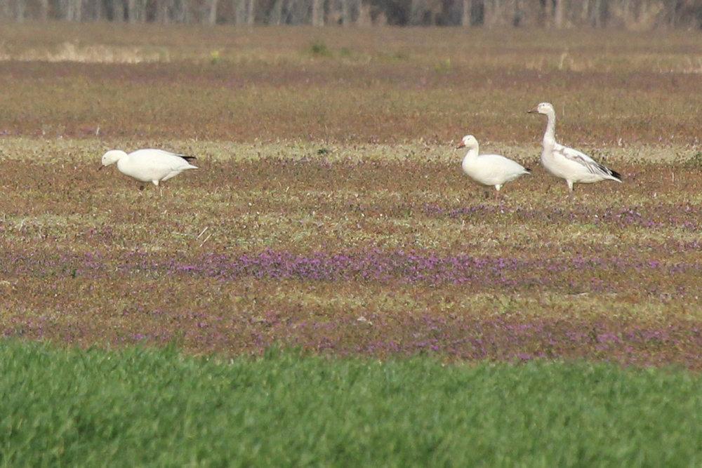 Snow Geese / 1 Apr / Morris Neck Road