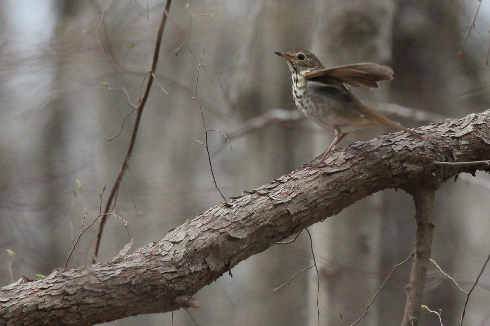 Hermit Thrush / 1 Apr / Stumpy Lake NA