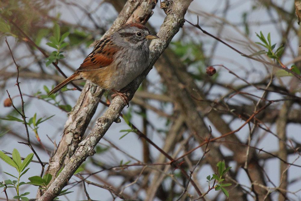 Swamp Sparrow / 6 Apr / Stumpy Lake NA