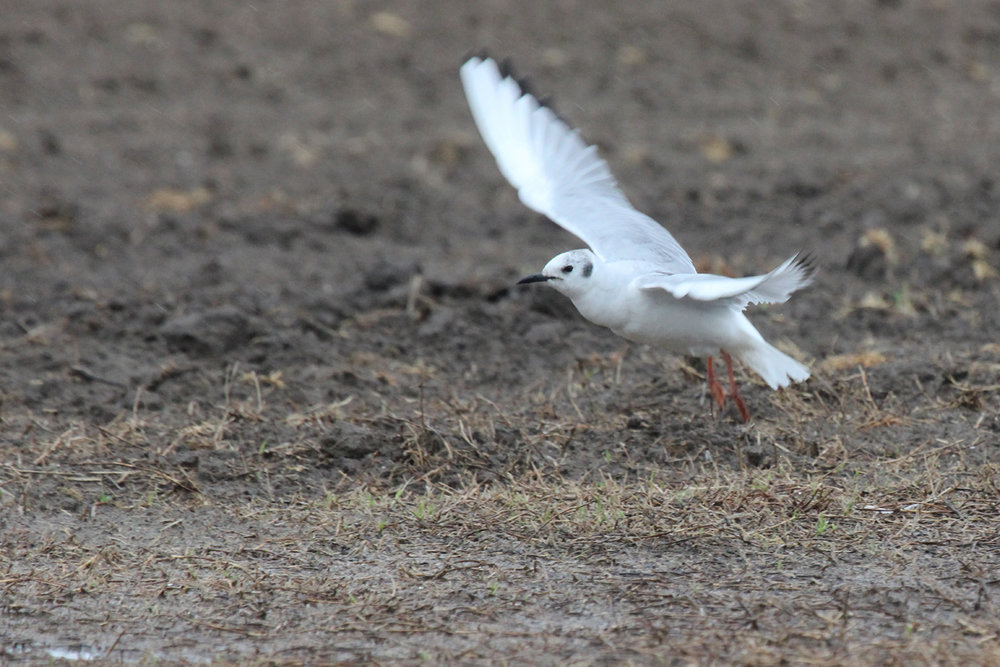 Bonaparte's Gull / 7 Apr / Morris Neck Road