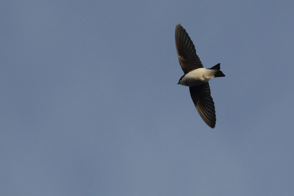 Tree Swallow / 1 Apr / Princess Anne WMA Whitehurst Tract
