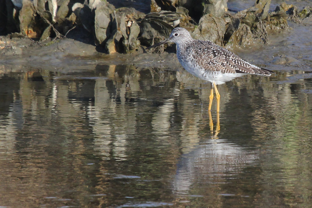 Greater Yellowlegs / 5 Apr / Pleasure House Point NA