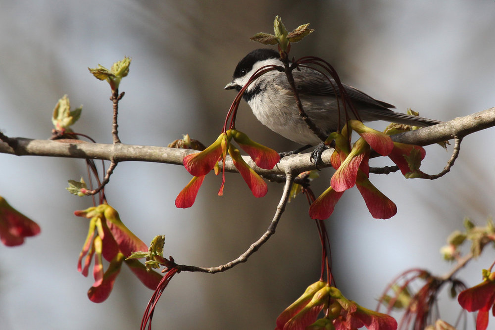 Carolina Chickadee / 6 Apr / Stumpy Lake NA