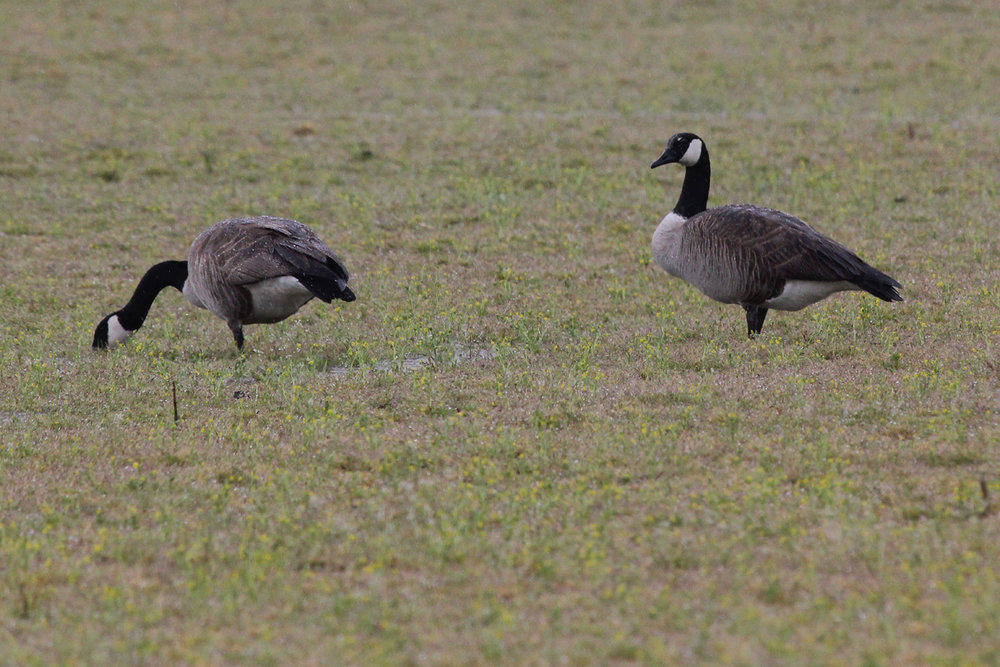 Canada Geese / 7 Apr / Muddy Creek Road