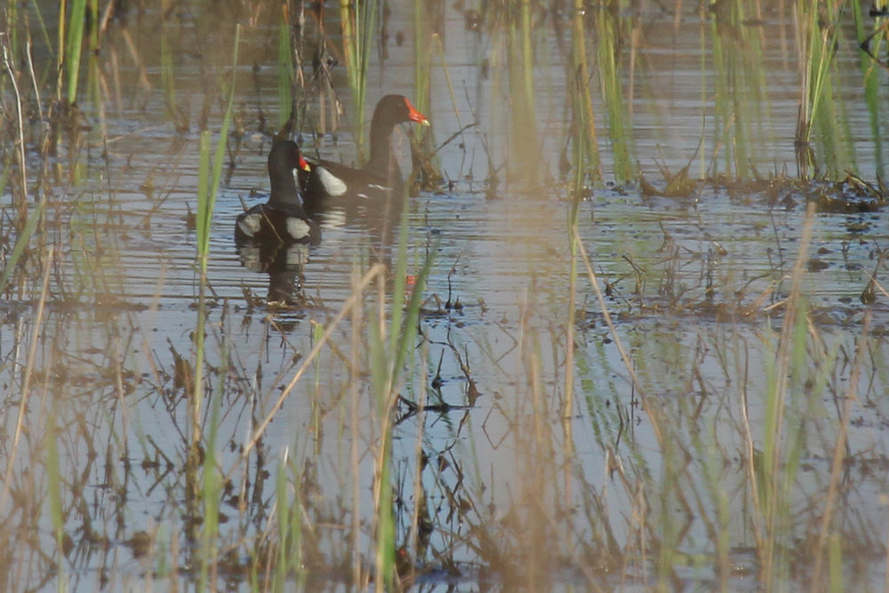 Common Gallinules / 15 Apr / Princess Anne WMA Whitehurst Tract