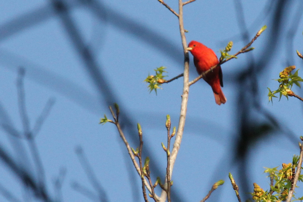 Summer Tanager / 14 Apr / Stumpy Lake NA