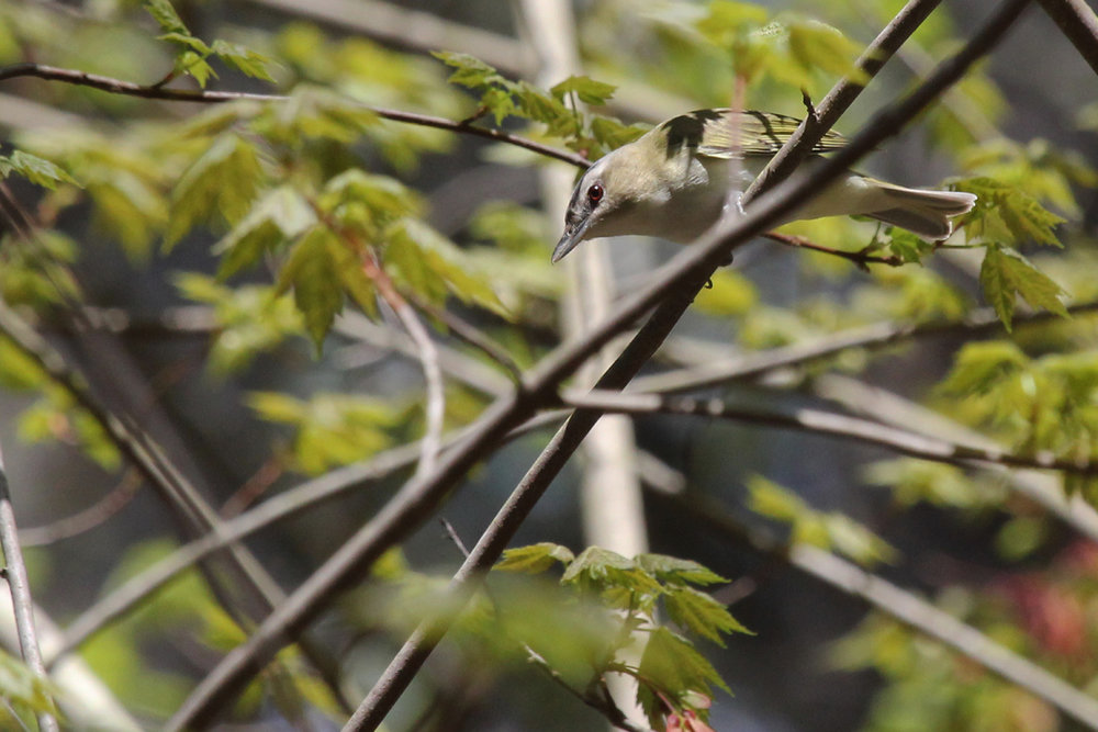 Red-eyed Vireo / 14 Apr / Red Wing Park