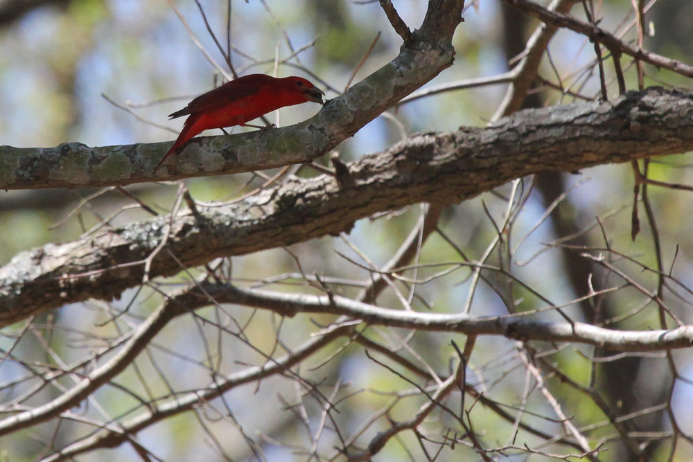 Summer Tanager / 14 Apr / Red Wing Park
