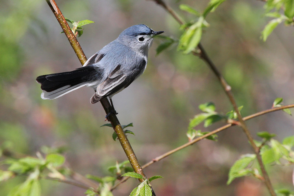 Blue-gray Gnatcatcher / 13 Apr / Stumpy Lake NA