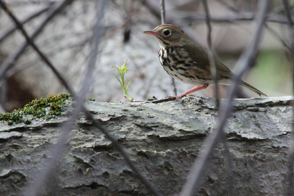 Ovenbird / 13 Apr / Stumpy Lake NA