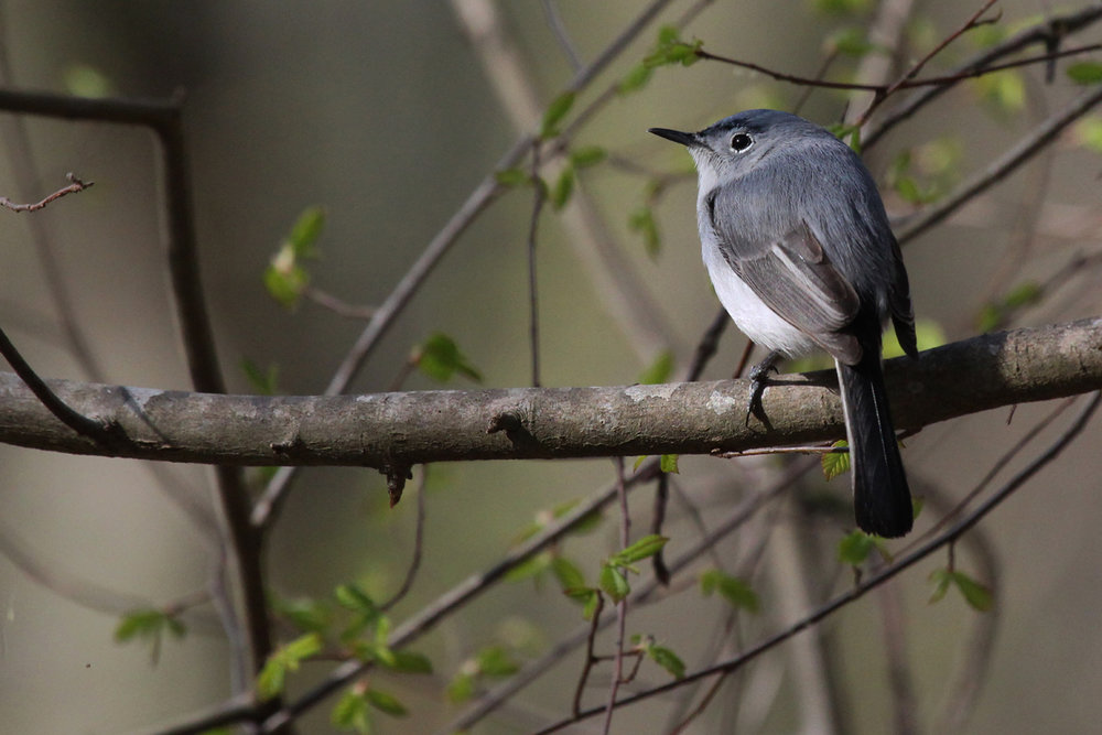 Blue-gray Gnatcatcher / 14 Apr / Red Wing Park