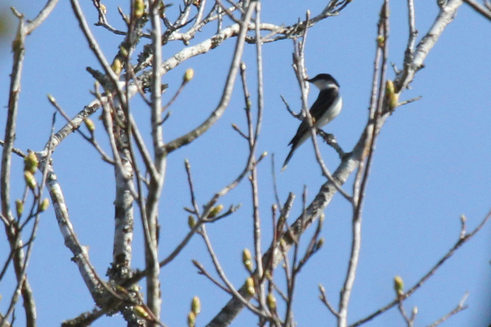 Eastern Kingbird / 14 Apr / Red Wing Park