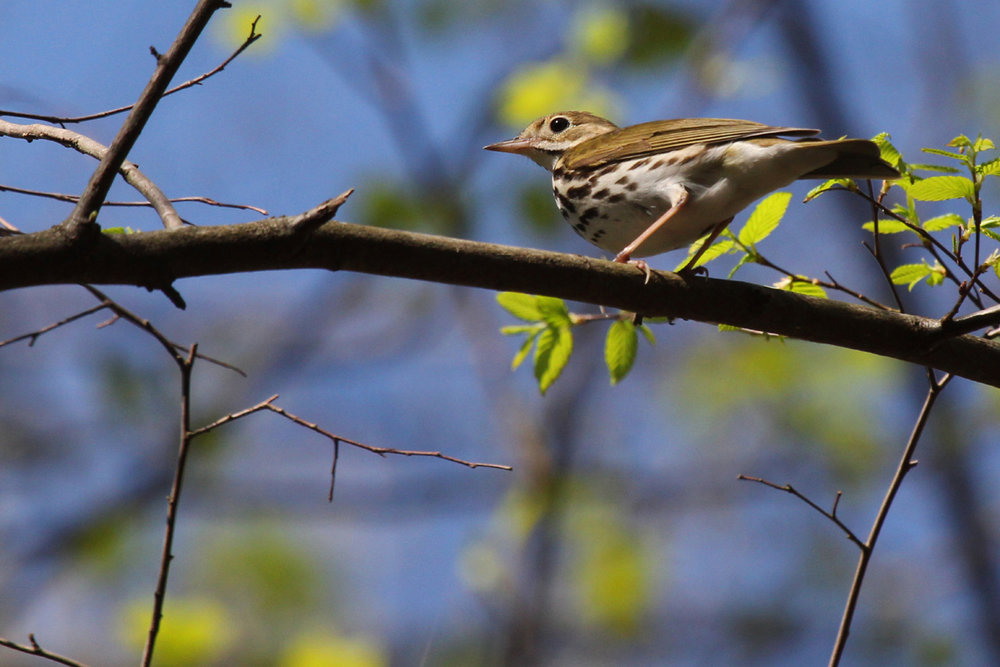 Ovenbird / 14 Apr / Red Wing Park