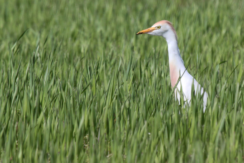 Cattle Egret / 14 Apr / Muddy Creek Rd.