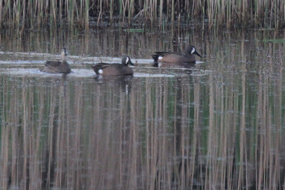Blue-winged Teal / 15 Apr / Princess Anne WMA Whitehurst Tract