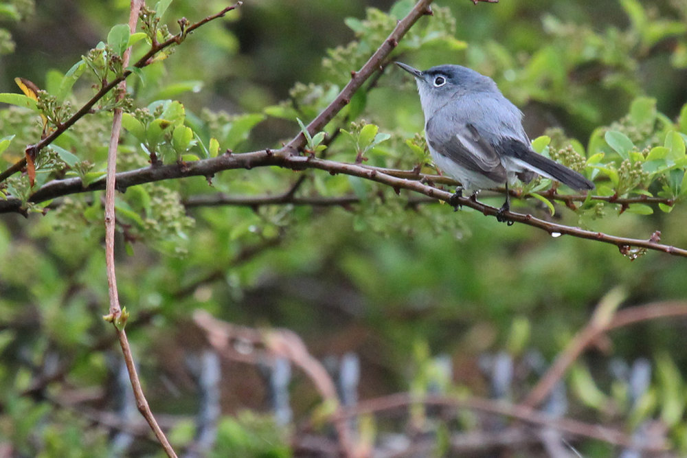 Blue-gray Gnatcatcher / 15 Apr / Firefall Dr.