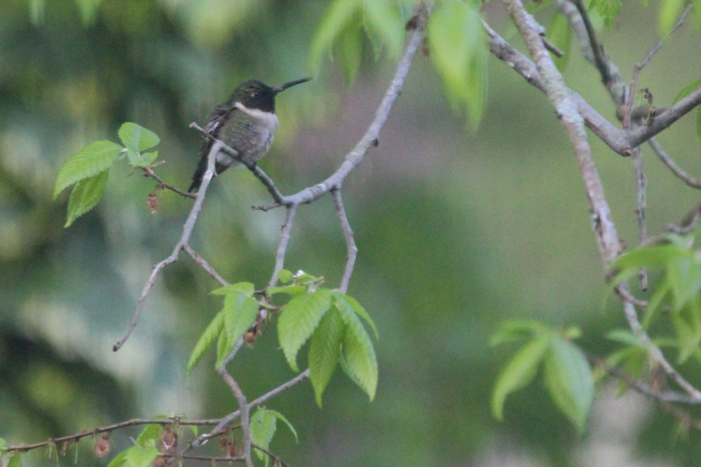 Ruby-throated Hummingbird / 18 Apr / Courthouse Woods (Private)