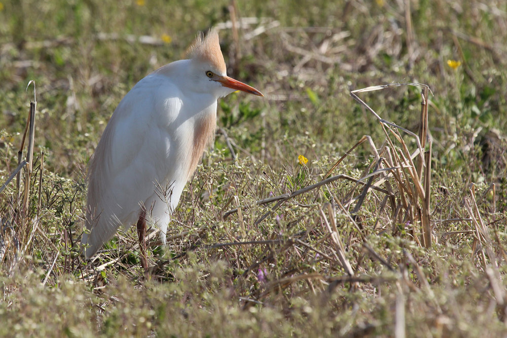 Cattle Egret / 18 Apr / Back Bay Landing Rd.