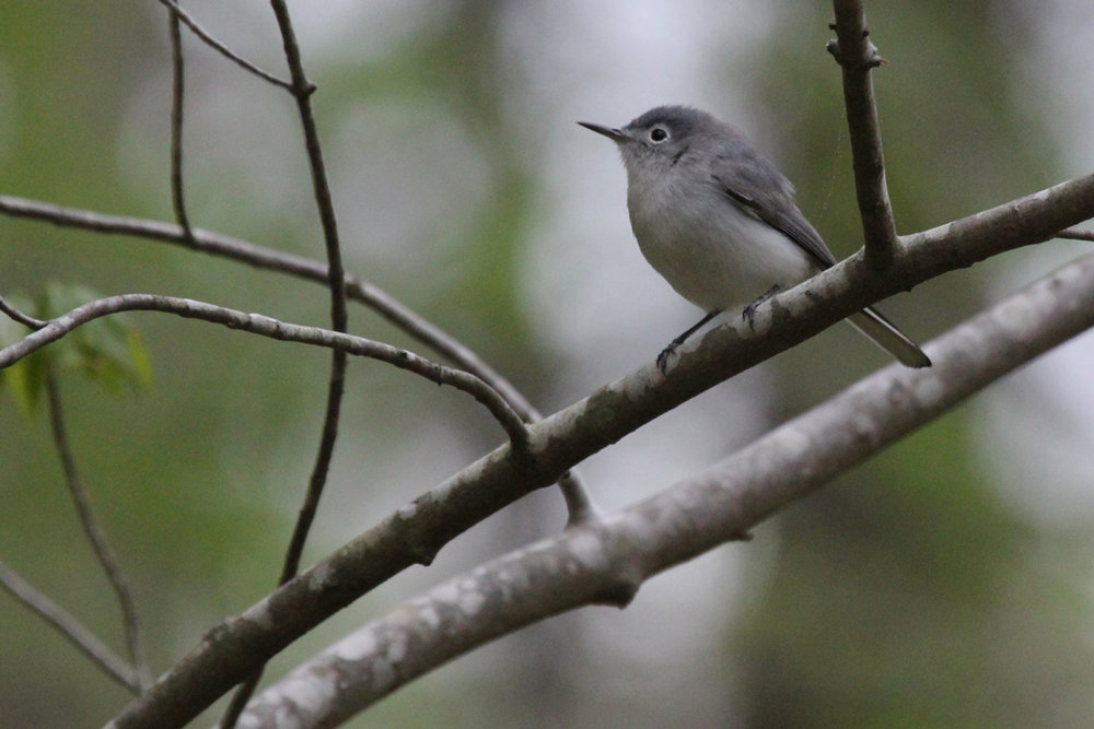Blue-gray Gnatcatcher / 19 Apr / Red Wing Park