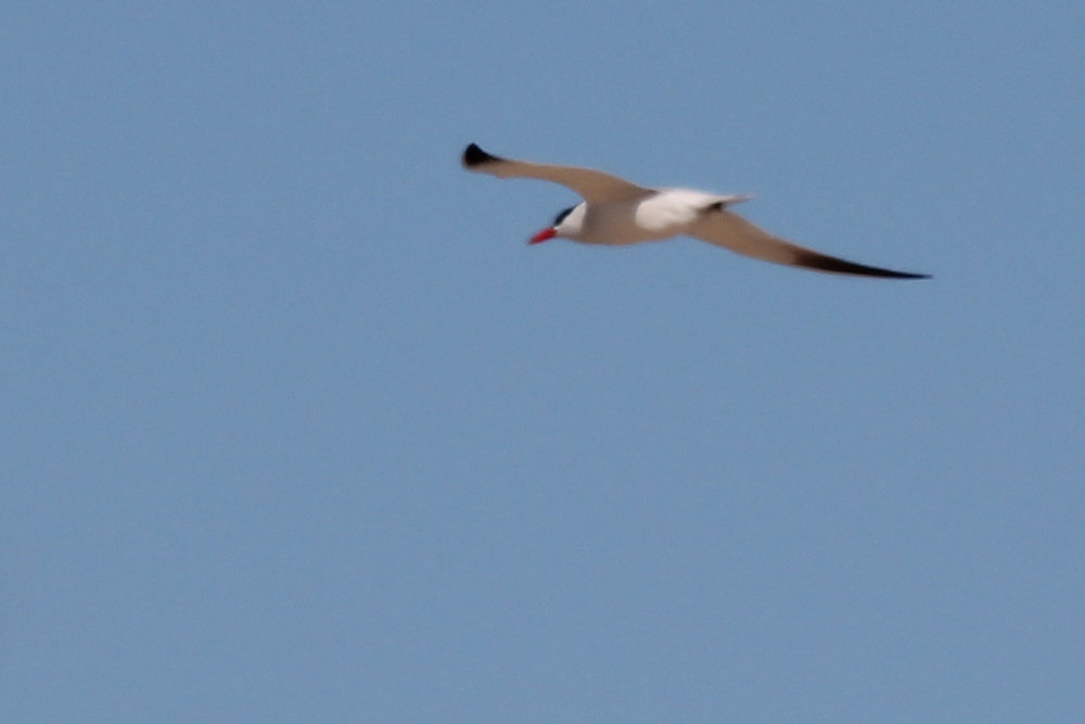 Caspian Tern / 20 Apr / Back Bay NWR