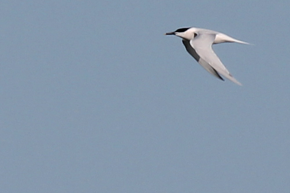 Sandwich Tern / 20 Apr / Back Bay NWR