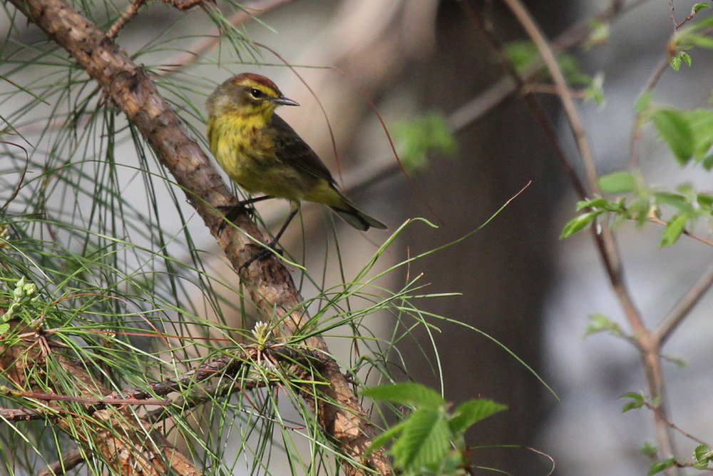 Palm Warbler (Yellow) / 13 Apr / Stumpy Lake NA