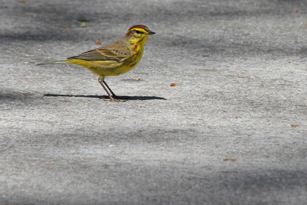 Palm Warbler (Yellow) / 14 Apr / Red Wing Park