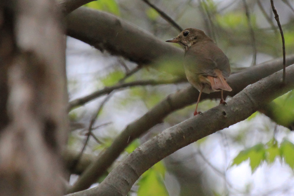 Hermit Thrush / 15 Apr / Stumpy Lake NA