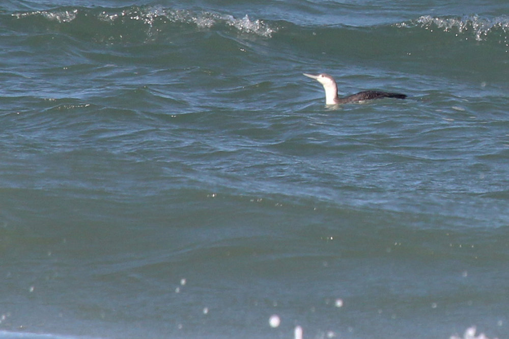 Red-throated Loon / 20 Apr / Back Bay NWR