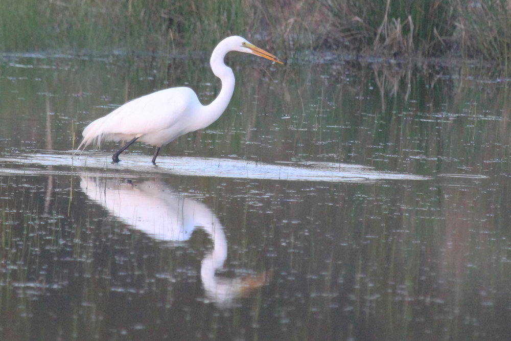 Great Egret / 15 Apr / Princess Anne WMA Whitehurst Tract