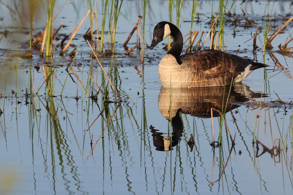 Canada Goose / 15 Apr / Princess Anne WMA Whitehurst Tract