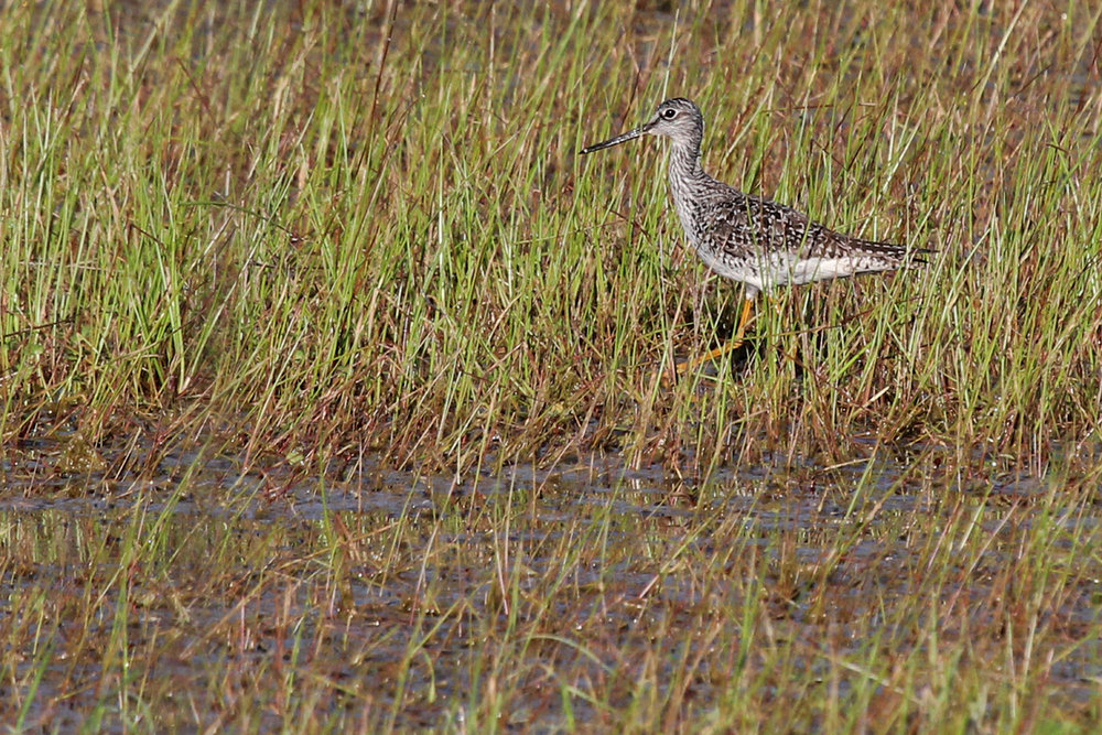Greater Yellowlegs / 15 Apr / Princess Anne WMA Whitehurst Tract