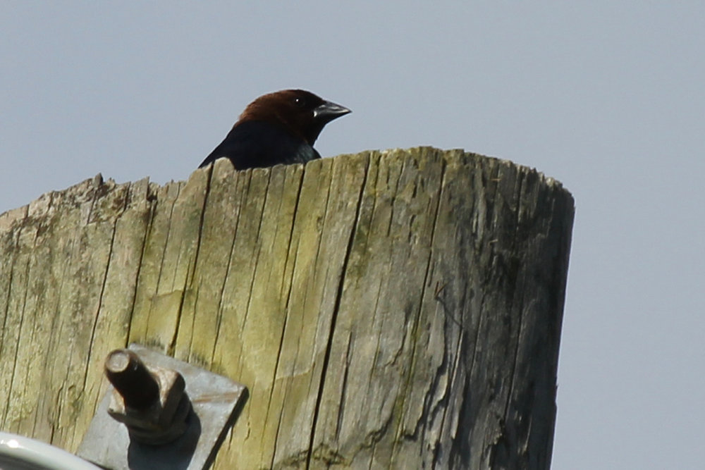 Brown-headed Cowbird / 15 Apr / Campbell's Landing Rd.