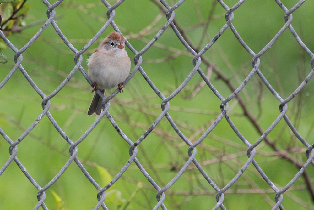 Field Sparrow / 15 Apr / Firefall Dr.