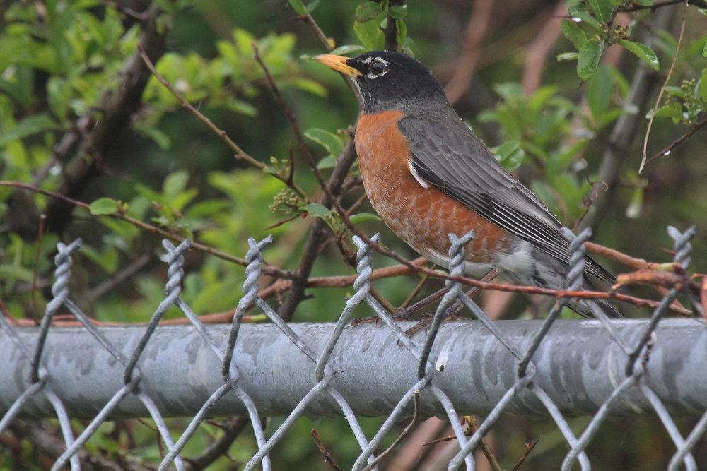 American Robin / 15 Apr / Firefall Dr.