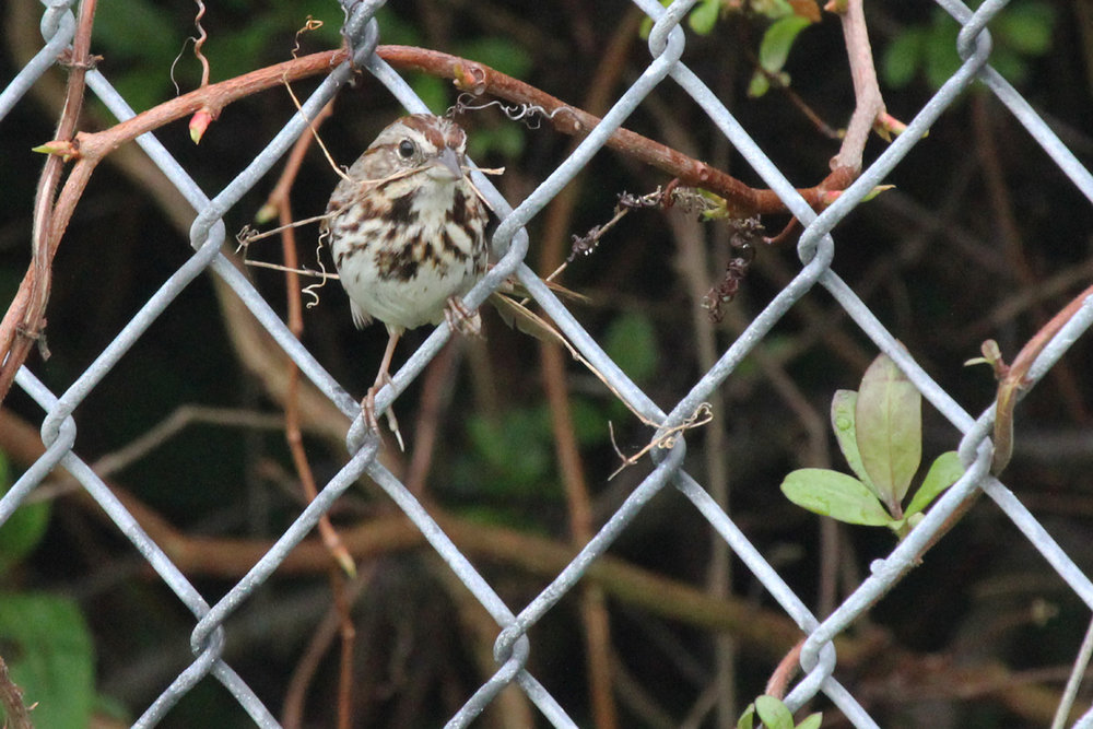 Song Sparrow / 15 Apr / Firefall Dr.