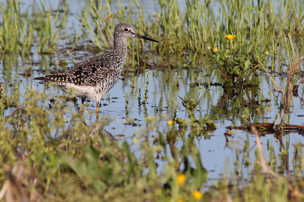 Greater Yellowlegs / 17 Apr / Back Bay Landing Rd.