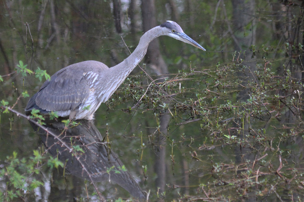 Great Blue Heron / 17 Apr / Stumpy Lake NA