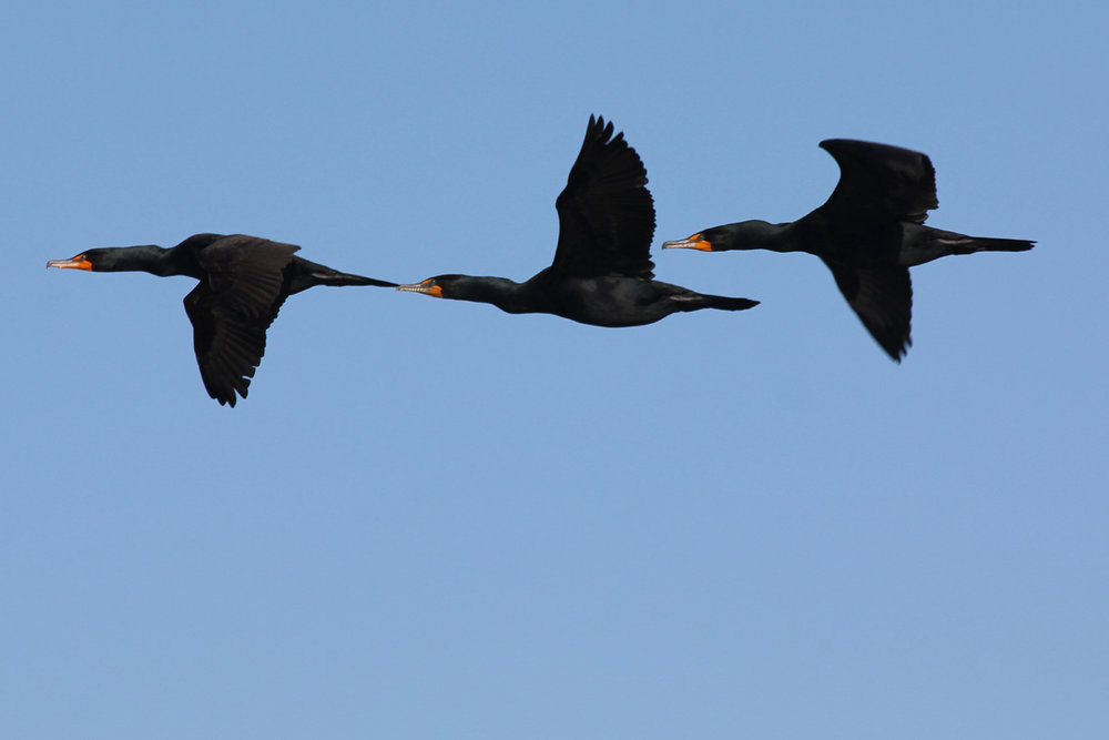 Double-crested Cormorant / 20 Apr / Back Bay NWR
