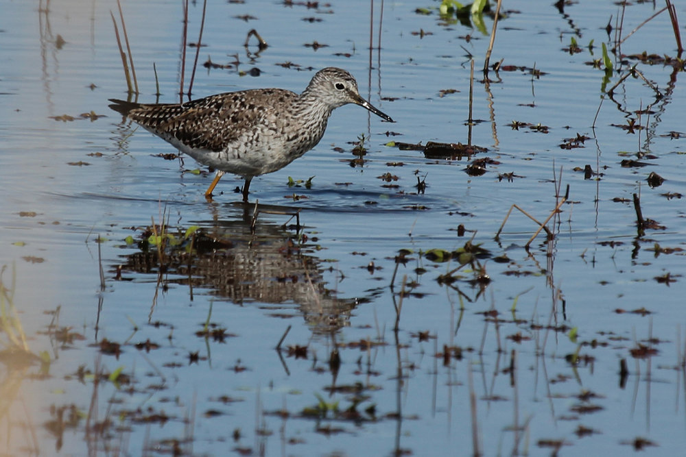 Lesser Yellowlegs / 22 Apr / Princess Anne WMA Whitehurst Tract