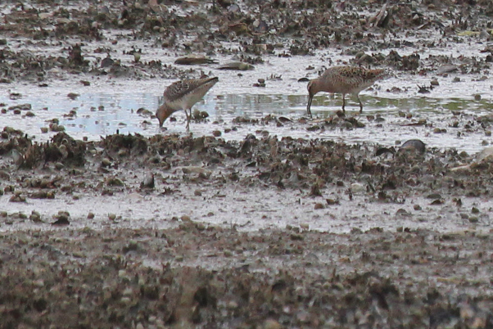 Short-billed Dowitchers / 27 Apr / Pleasure House Point NA