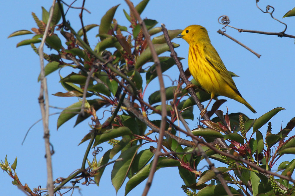 Yellow Warbler / 28 Apr / Back Bay NWR
