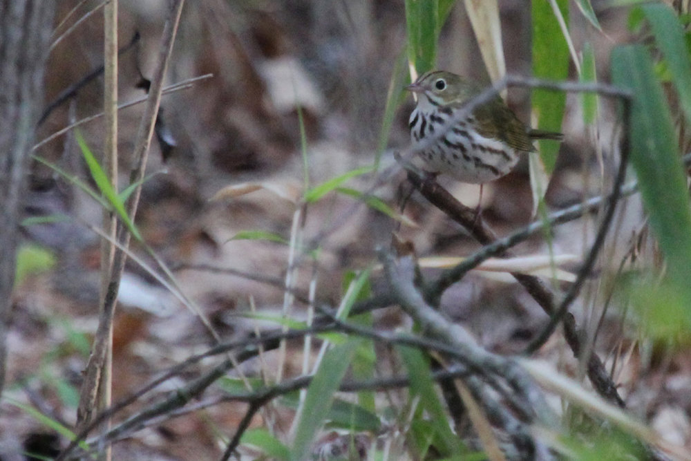 Ovenbird / 21 Apr / Stumpy Lake NA