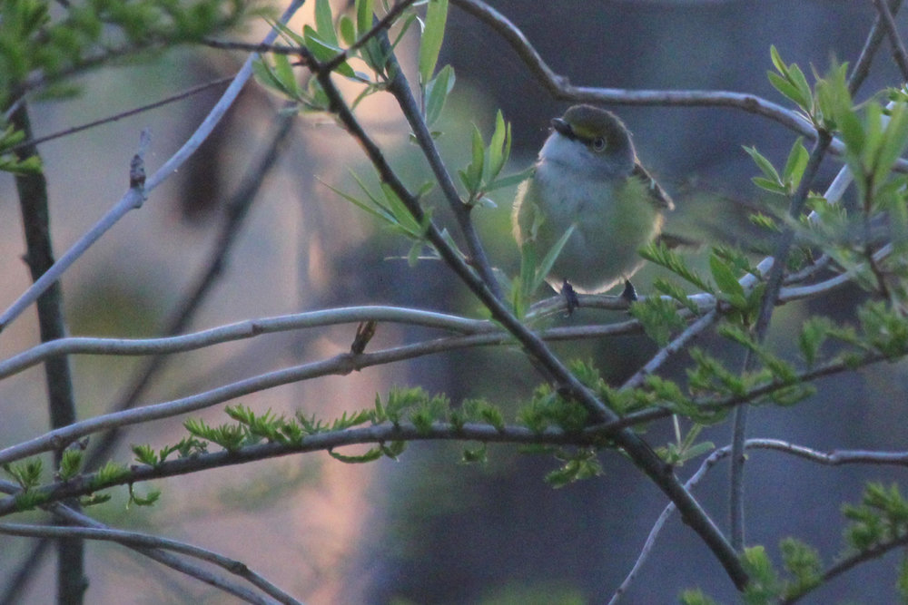 White-eyed Vireo / 21 Apr / Stumpy Lake NA