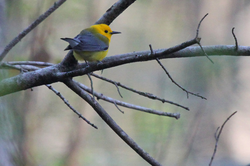 Prothonotary Warbler / 21 Apr / Stumpy Lake NA