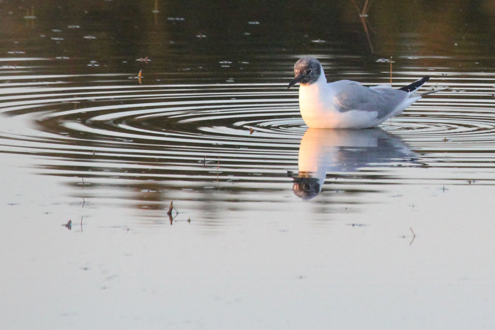 Bonaparte's Gull / 22 Apr / Princess Anne WMA Whitehurst Tract